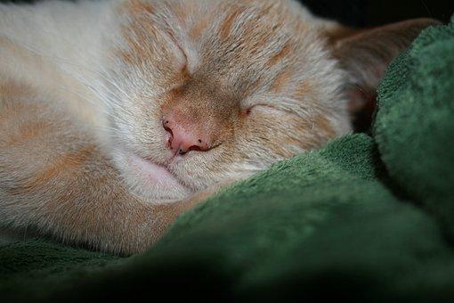 Cat, Siamese, Animal, Cute, Pet, Kitty, Young, Feline
