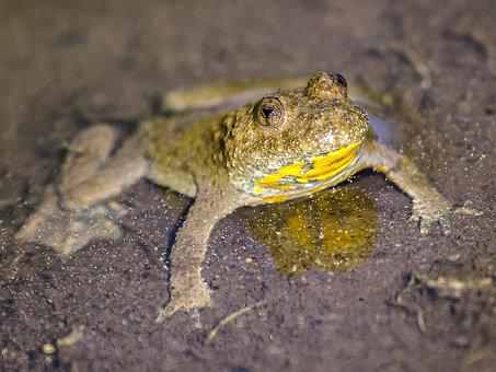Yellow-bellied Toad, Toad, Amphibians, Nature, Animal
