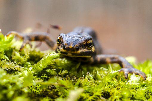 Newt, Pond Pig, Amphibians, Nature, Animal