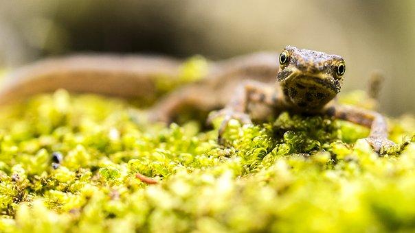 Pond Pig, Newt, Amphibians, Nature, Animal