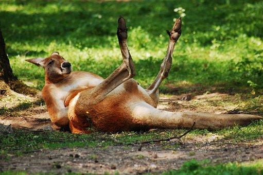 Kangaroo, Zoo, Animal, Australian Animal, Australia