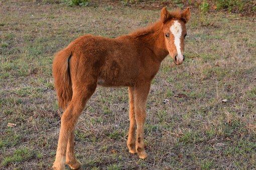 Mini Horse, Animal, Baby Horse