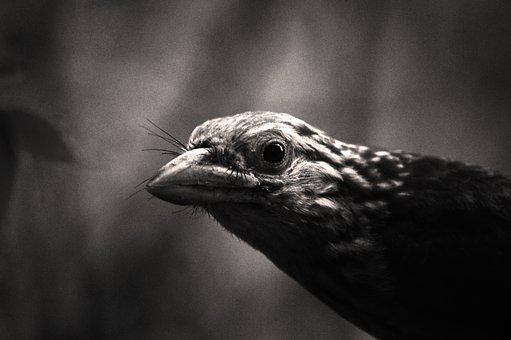 Lineated Barbet, Bird, India, Animal