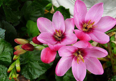 Ixia, Bulb, Pink, Spring, Flower, Garden, Nature