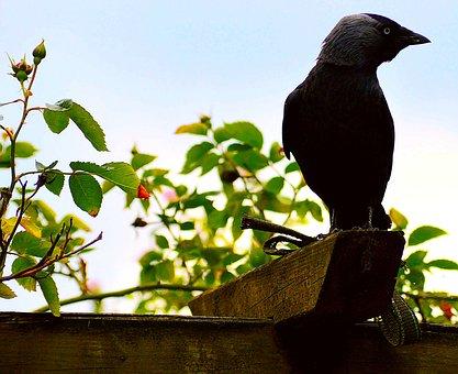 Jackdaw, Black, Birds, Bird, Raven Bird, Corvidae