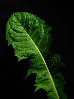 Leaf, Nature, Plant, Dandelion, Green, Weed, Background