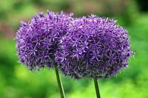 Decorative Garlic, Huge, Sphere, Flower, Violet