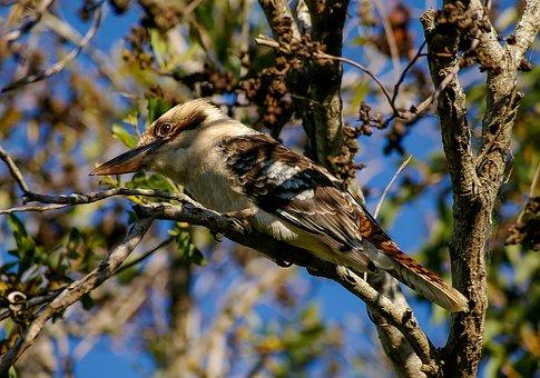 Laughing Kookaburra, Kookaburra, Bird, Wild, Perched