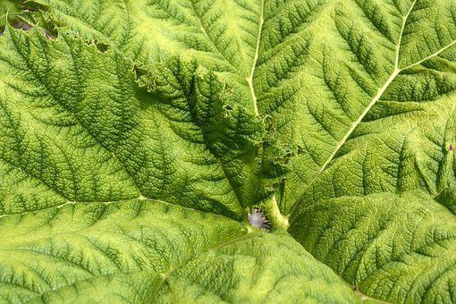 Mammoth Sheet, Leaf, Green, Herbaceous Plant