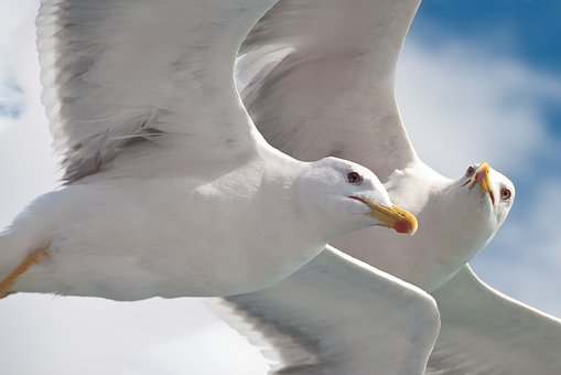 Gulls, Birds, Animal, Fly, Water Bird, Nature