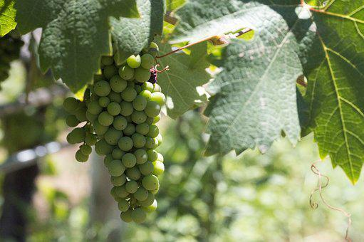 Vine, Bunch Of Grapes, Vineyard, Parra, Red Wine, Fruit