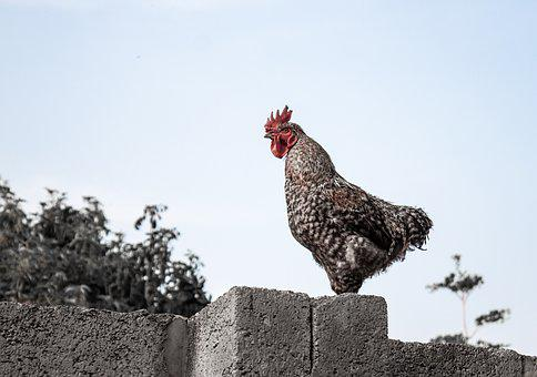 Chicken, Wall, Roaster, Poultry, Rooster, Crow, Farm
