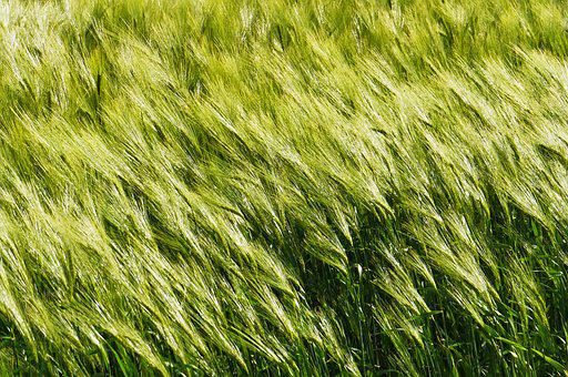Background, Barley In The Wind, Cereals, Spike, Awns