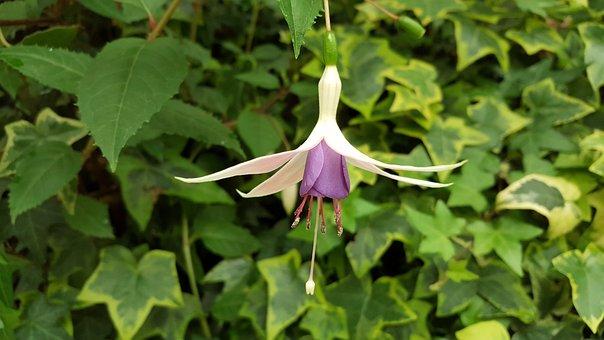 Hanging Clock Flower, Spring, Morning, Natural, Flower