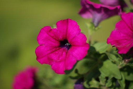 Flower, Surfinia, Violet, Garden, Summer, Houseplant