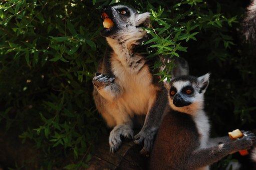 Lemur, Sitting, Zoo, Clear, Zoological Garden, Animal
