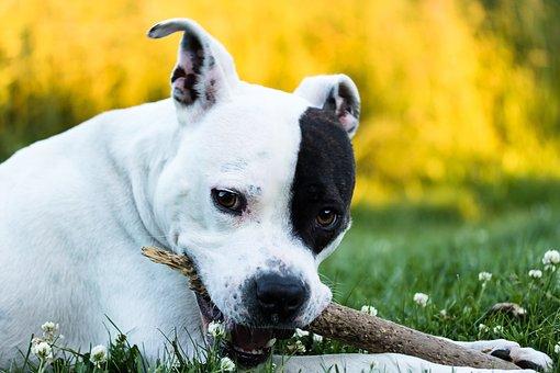 American Stafford, American Staffordshire Terrier, Dog