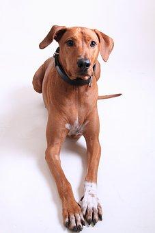 Dog, Rhodesian Ridgeback, Dog Breed, Pet, Animal