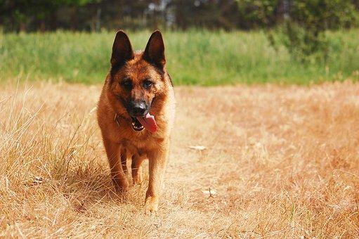 Dog, German Shepherd, Black And Tan, Freedom, Nature