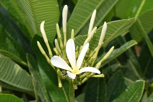 Chafa Flower, Champa Flower, Plumeria Rubra