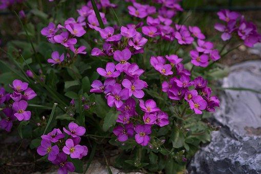 Cushion Flowers, Flowers, Plant, Garden, Close, Nature