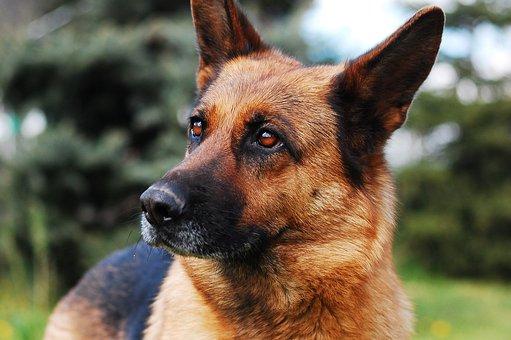 Dog, Animal, German Shepherd, Sheep-dog, Black And Tan