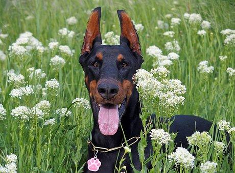 Doberman, Dog, Flowers, Lie, Field
