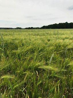 Sky, Cornfield, Green Grain Field, Cereals, Spike