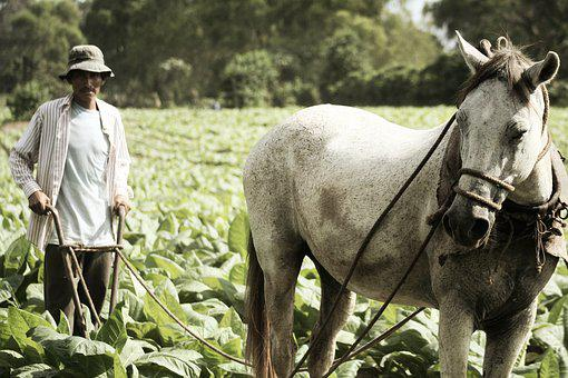 Tobacco, Farm, Farmer, Horse, Guatemala, Harvest, Crop