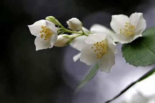 Flower, Jasmine, Biel, Glow, The Background, Blur