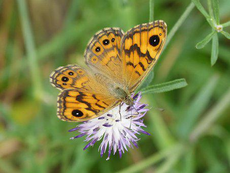 Orange Butterfly, Detail, Wild Flower, Libar