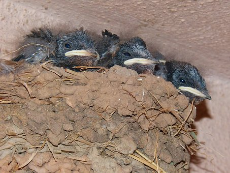 Nest, Chicks, Swallow, Hyip, Hunger, Food