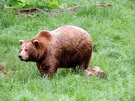 Brown Bear, Bear, Mammal, Omnivore, Predator, Nature