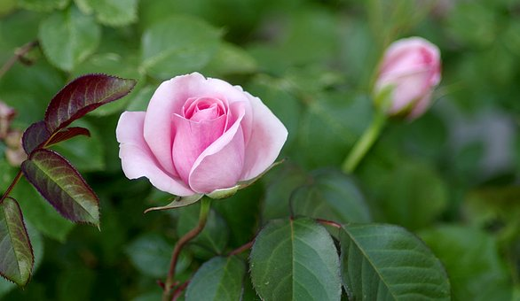 Roses, Bush, Pink, Bright Red, Jasna, Green, Garden