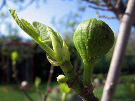 Pear, Tree, Plant, A Branch, Garden