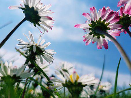 Daisies, Madelief, Nature, Outdoor, Flower, Spring