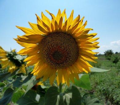 Sunflower, Nature, Sunflower Seeds, Sunflower Oil