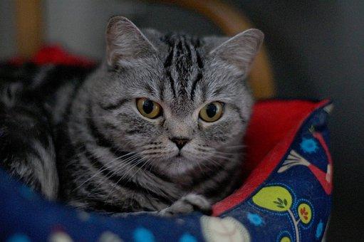 Cat, Pet, Snout, Grey Cat, View, Eyes, Cat Looking