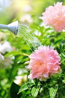 Watering, Flowers, Peonies, Pink, Watering Can, Nature