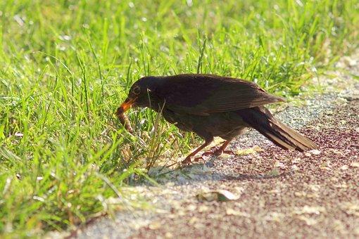 Kos, Bird, Prey, Upolowane, Worm, Eating, Brown, Spring