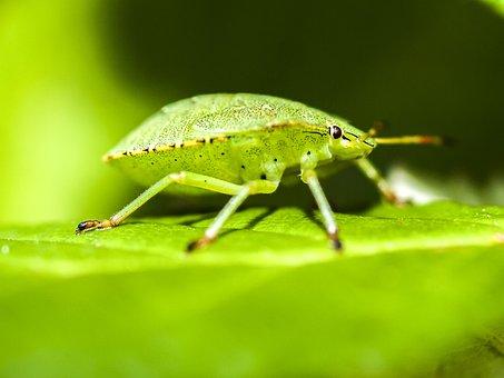 Bug, Stink Bug, Nature, Animal, Insect