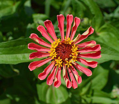 Deep Coral Zinnia, Flower, Blossom, Bloom, Plant