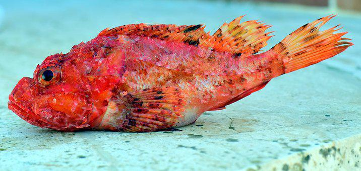 Fish, Frisch, Food, Close, Small, Small Fish, Red
