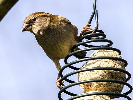 House Sparrow, Sperling, Bird, Songbird, Nature, Animal