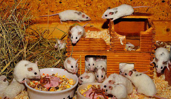 Mice, Mastomys, Cute, Rodents, Close, Fur, Sweet, Nager