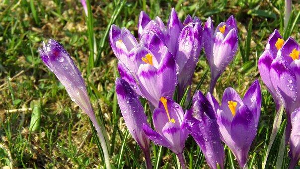 Chochołowska Valley, Krokus, Flower, Nature, Saffron