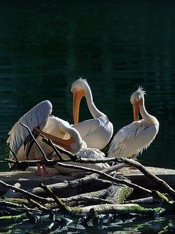 Pelicans, Animals, Birds, Nature, Water, Waterfowl