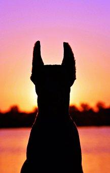 Doberman, Silhouette, Fejkép, Dog, Sunrise