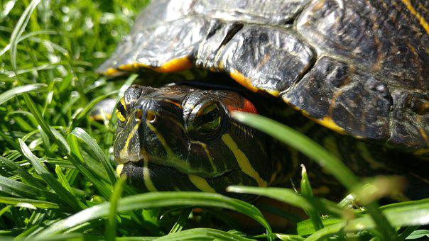 Turtle, Red-eared Slider Turtle, Water Turtle, Reptile