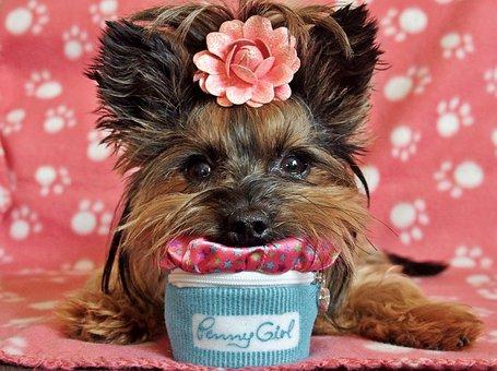 Yorkshire Terrier, Dog, Cute, Lie